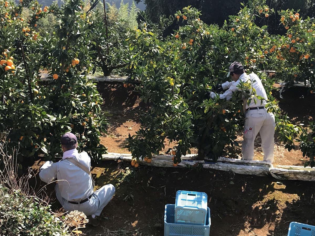 みかん収穫作業様子の写真